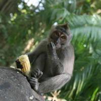 храм обезьян, лес обезьян, парк обезьян, храмы Бали