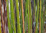 Поющее дерево - бамбук